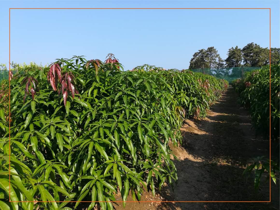 Come Piantare Il Mango papamango - le nostre coltivazioni di mango
